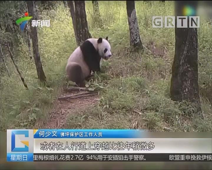陕西佛坪:游客偶遇悠闲散步的野生大熊猫