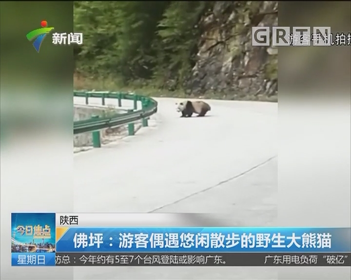 陕西 佛坪:游客偶遇悠闲散步的野生大熊猫