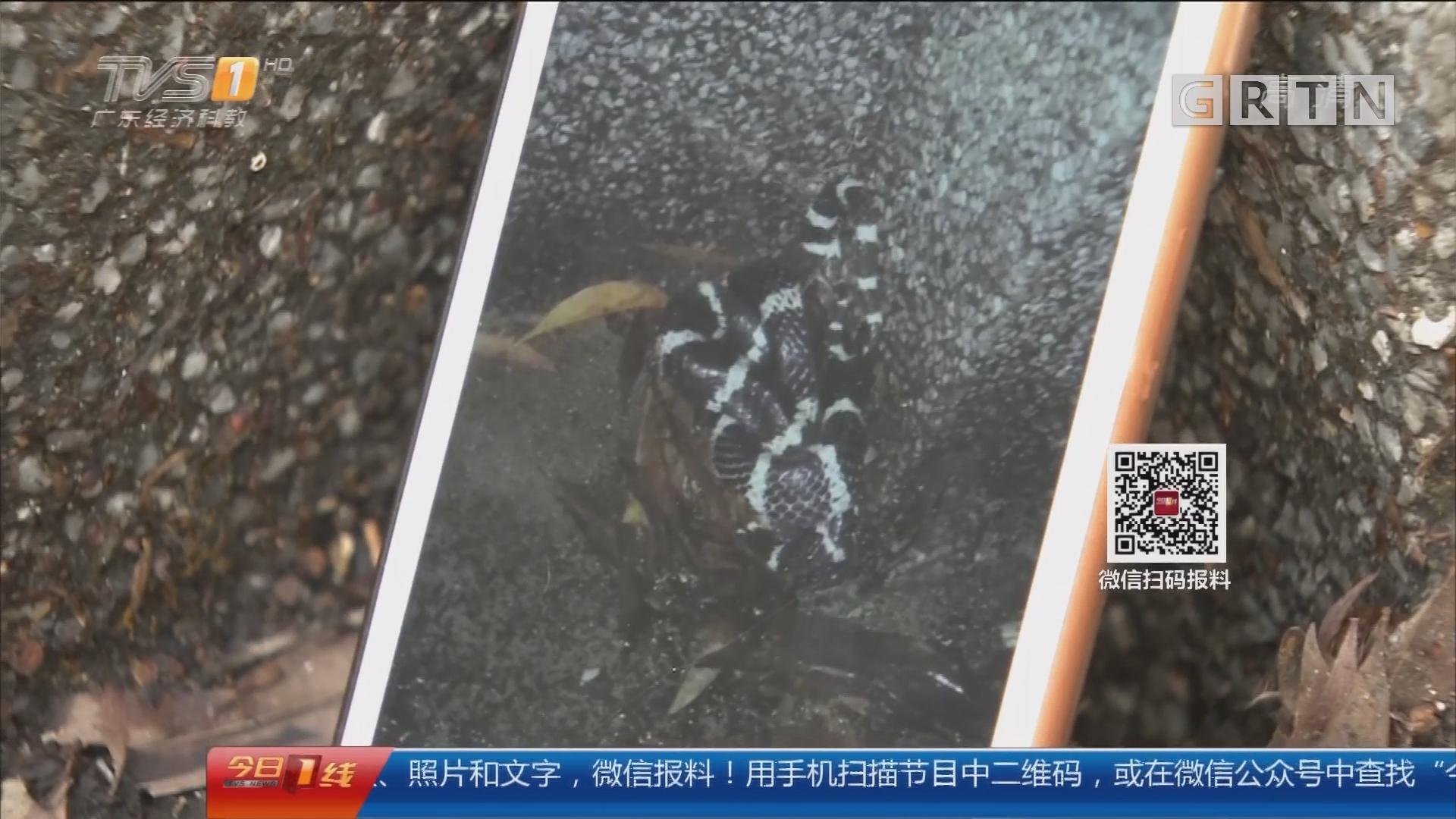 关注校园安全:暴雨来袭 中山大学校区一条蛇火了