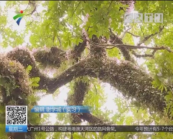 惠州龙门:600多年秋枫古树绽放罕见石斛花