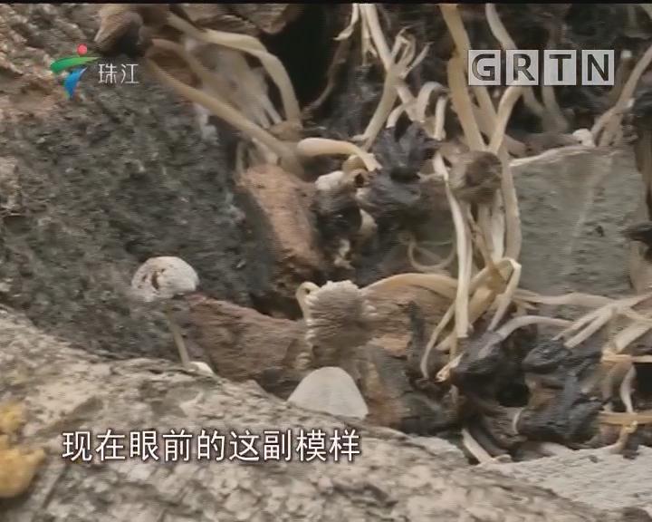 """广州:居民区出现大片""""小蘑菇"""" 有毒吗?"""