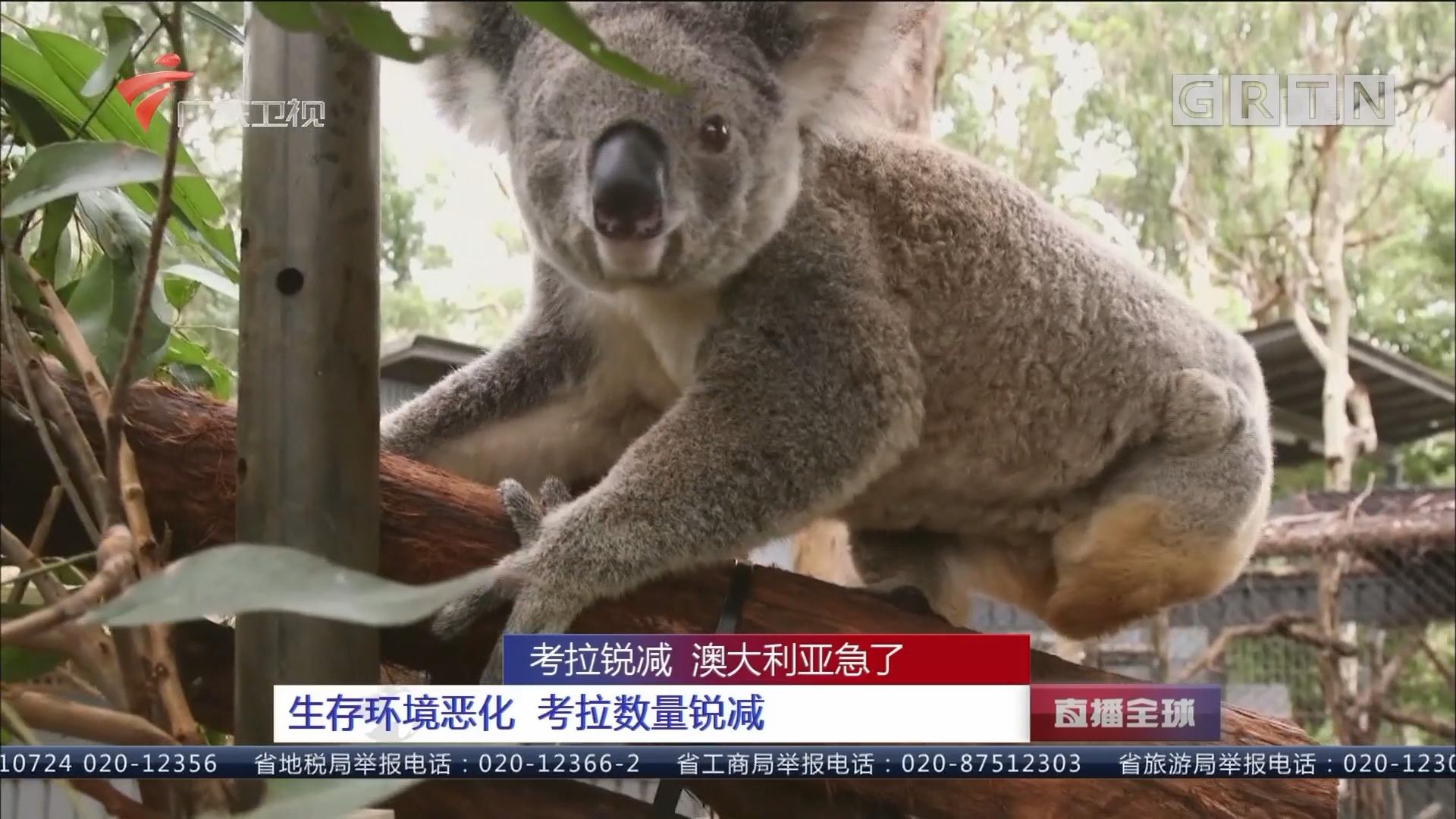 考拉锐减 澳大利亚急了:生存环境恶化 考拉数量锐减