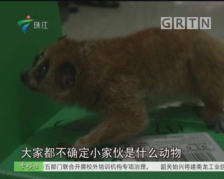 """广州:小区出现蜂猴""""宝宝""""被送救助中心"""