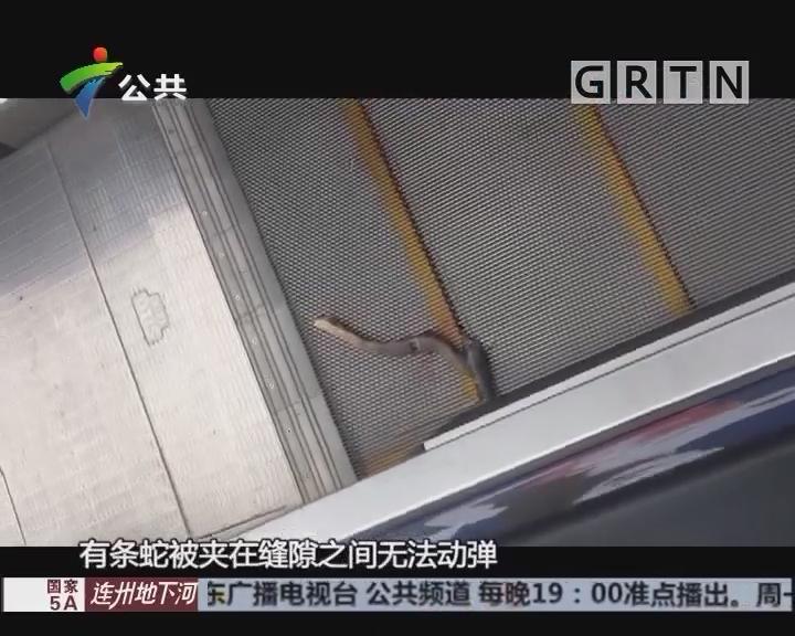 梅州:搭乘扶梯时惊现大蛇 市民被吓一跳