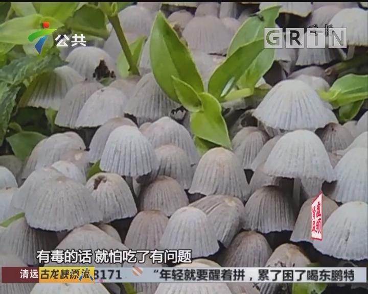 """广州:家门口冒出大片""""鬼伞"""" 专家提醒勿采食"""