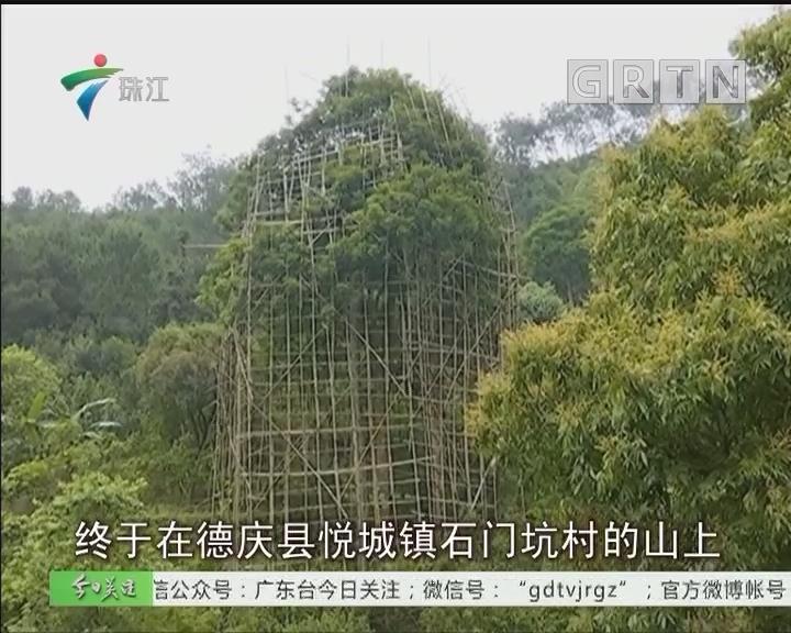 德庆:果子未熟就围起来 什么果树这么值钱