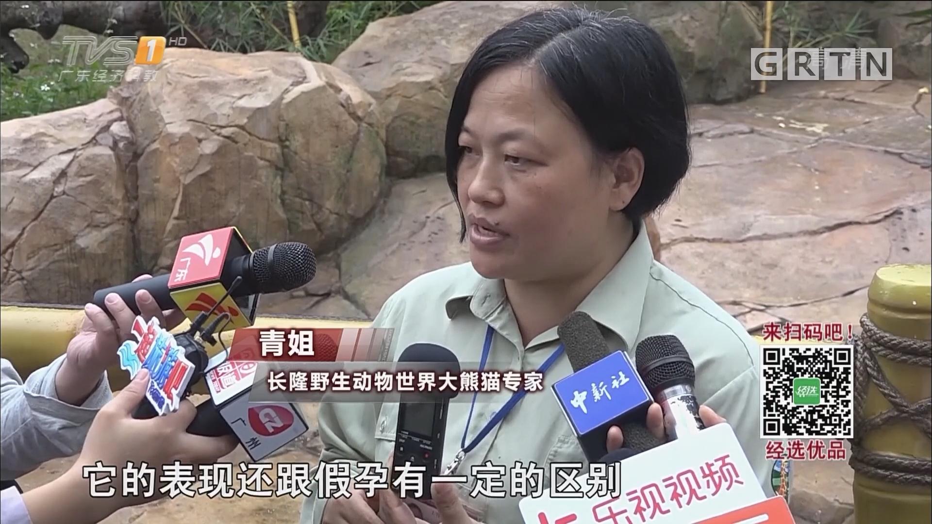 """首只""""广州土生""""大熊猫有望当妈妈"""