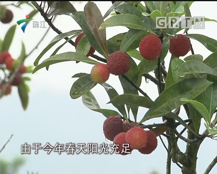 """从化:杨梅应节上市 """"互联网+""""助产销"""