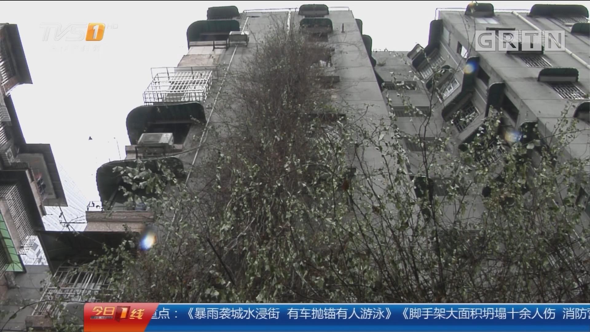 """广州:7层楼高""""网红""""簕杜鹃告别街坊"""