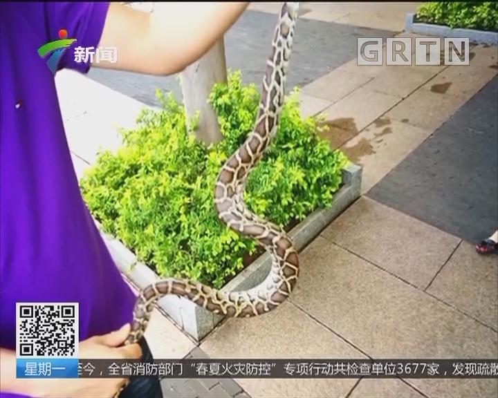 深圳:小区草地现大蟒蛇 吃饱出来晒太阳