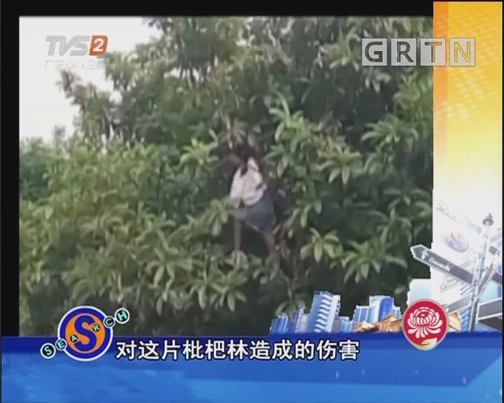 为摘枇杷老人上树