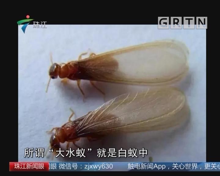 广州:白蚁袭击民居 街坊忙应战