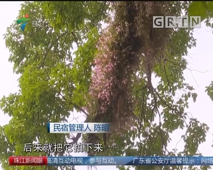 龙门天堂山下660岁秋枫古树 开满美花石斛