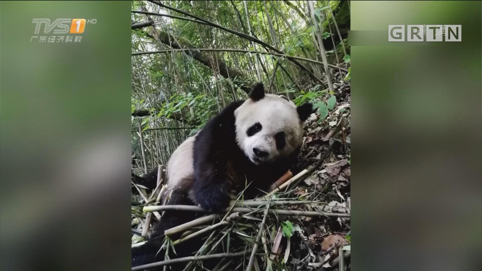 陕西佛坪:游客偶遇悠闲散步野生大熊猫