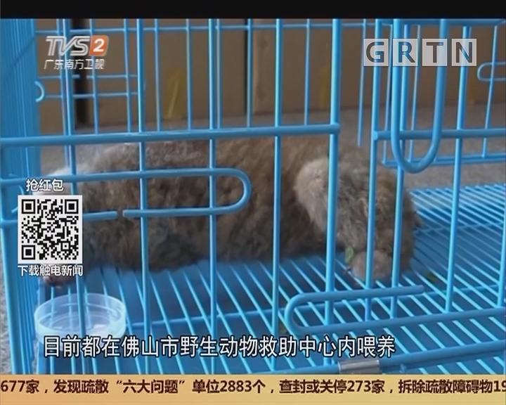 佛山:高压线上坚持八天 蜂猴坠落获救
