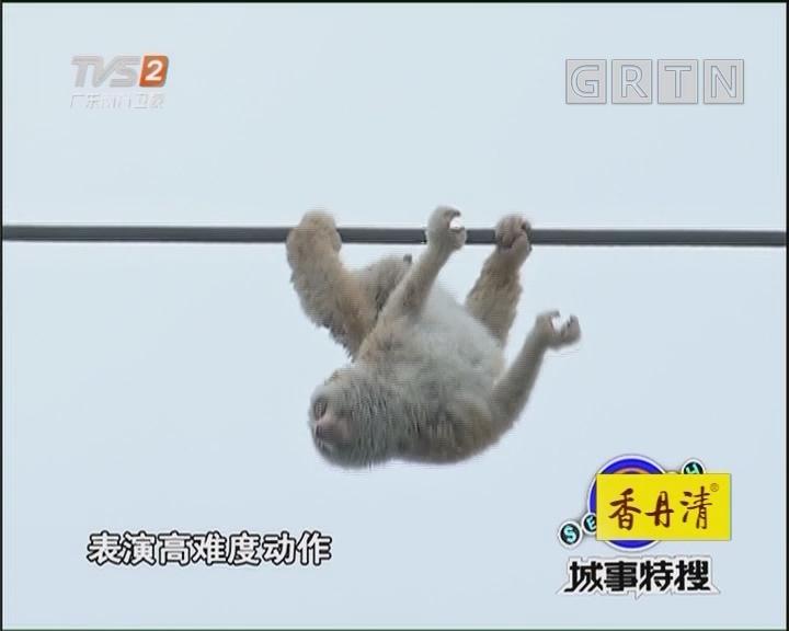 活捉一只小蜂猴