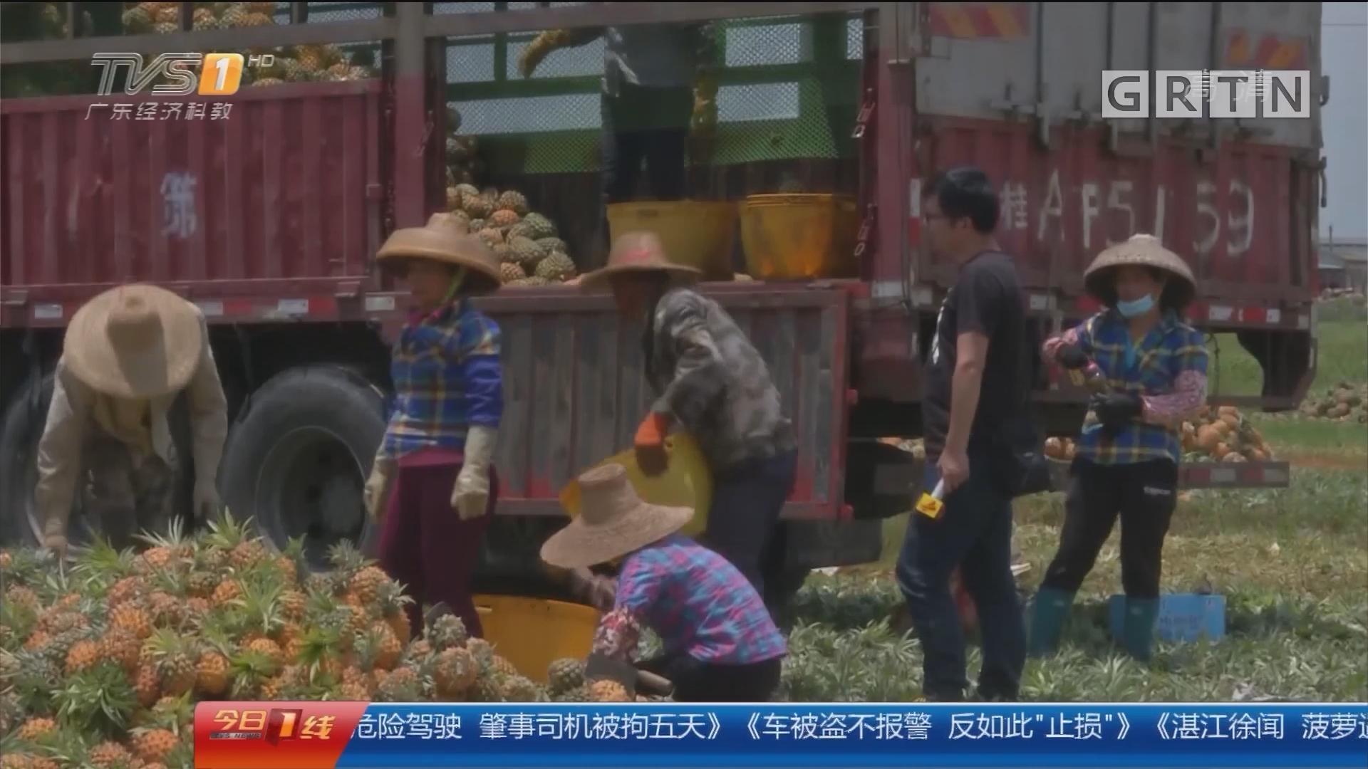 """湛江徐闻:菠萝遇价格""""寒冬"""" 政府协会想办法"""