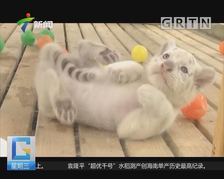 山东:雪虎五胞胎与游客见面 萌翻了!