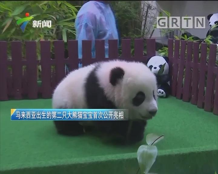 马来西亚出生的第二只大熊猫宝宝首次公开亮相