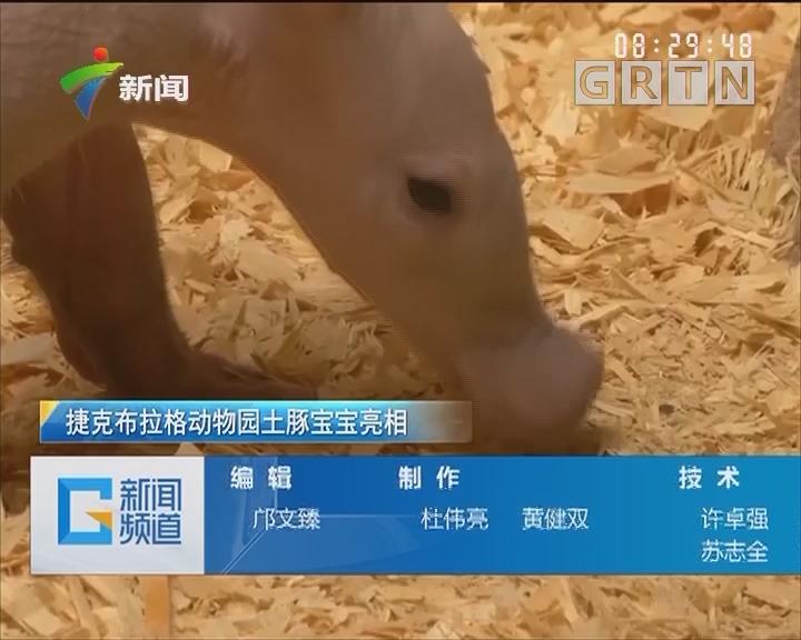 捷克布拉格动物园土豚宝宝亮相