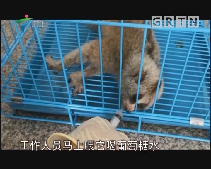 高压线上坚持八天 蜂猴坠落获救