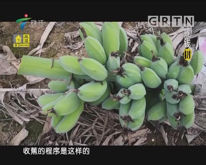 [2018-05-21]摇钱树:粉蕉丰产有窍门