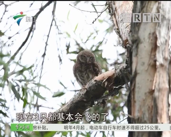 广州:公园里来了野生猫头鹰一家5口