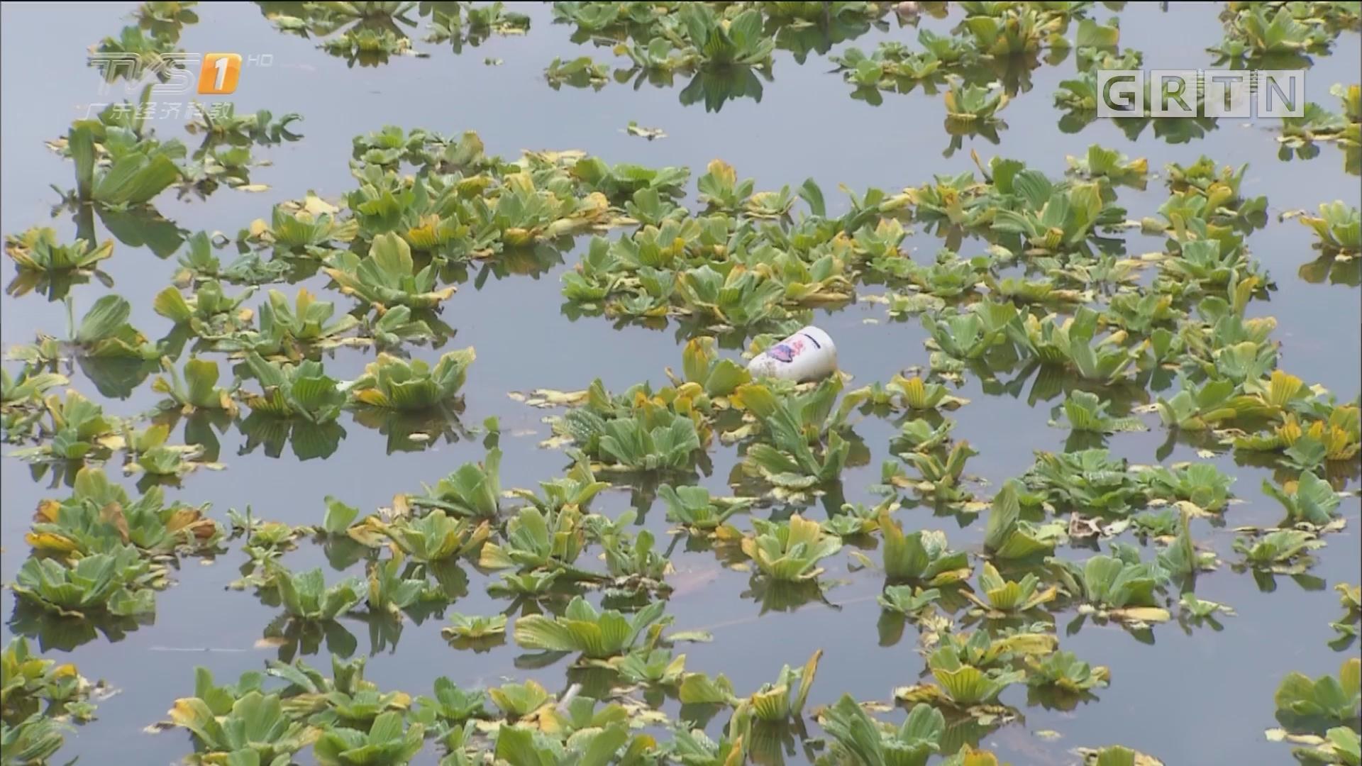新闻调查:从化流溪河水浮莲疯长 威胁饮用水安全?
