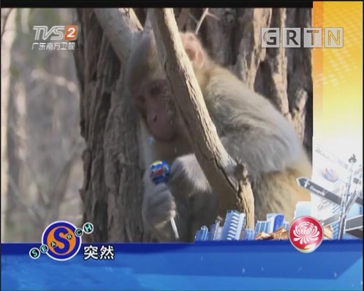 猕猴太狂野 市民遇袭