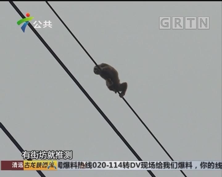 高压线蜂猴还没下来 又有一只来报到