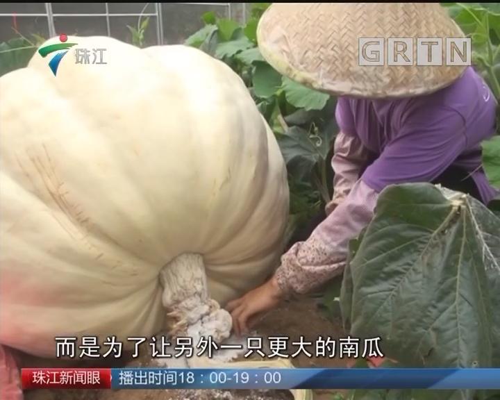 """梅州:""""巨无霸""""南瓜称重近四百斤"""