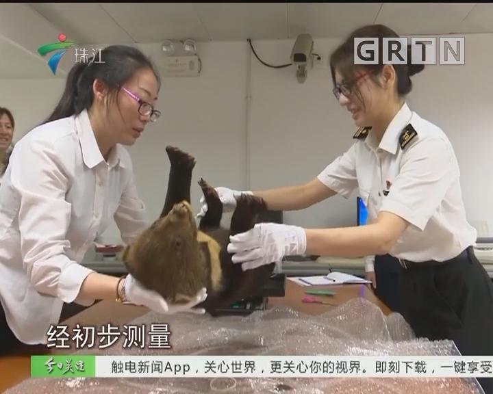 罗湖海关截获走私濒危黑熊标本 年幼小熊制成