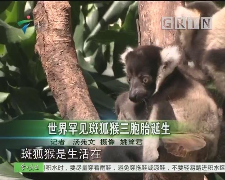 世界罕见斑狐猴三胞胎诞生