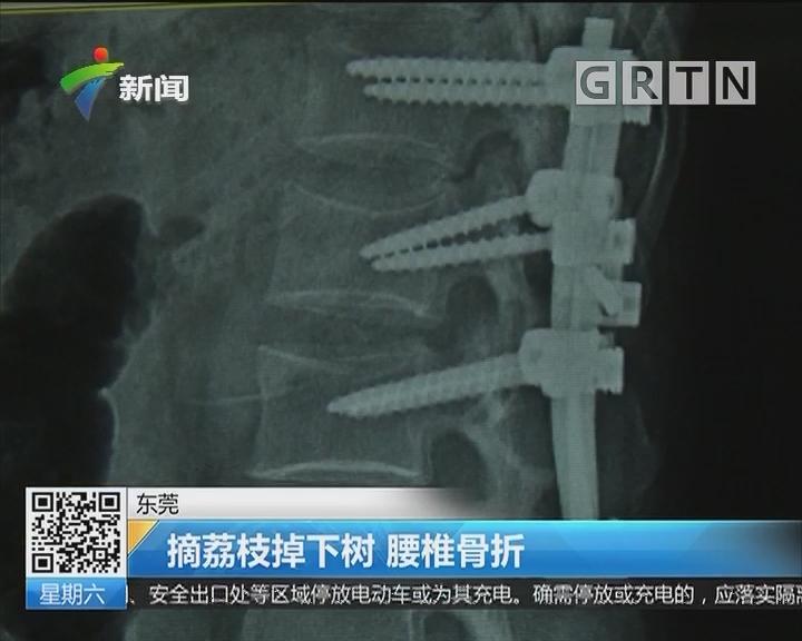 东莞:摘荔枝掉下树 腰椎骨折