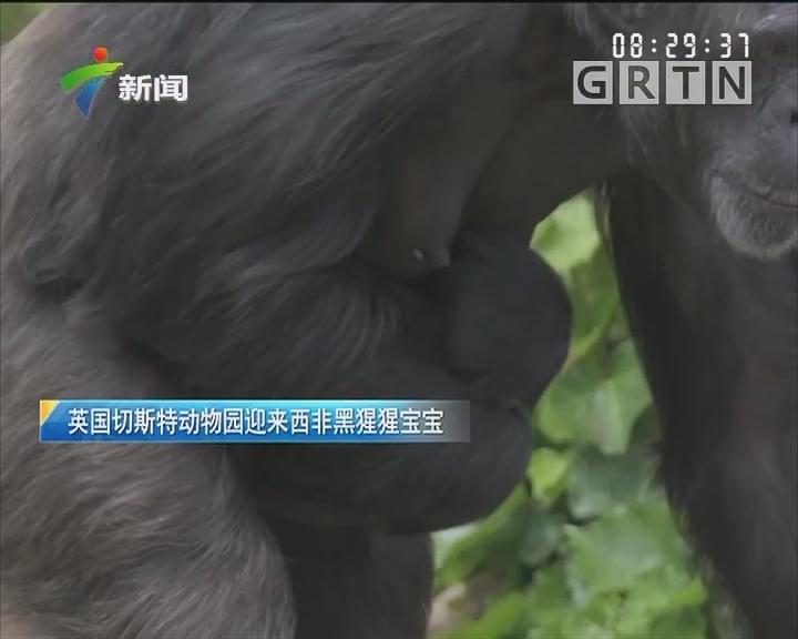 英国切斯特动物园迎来西非黑猩猩宝宝