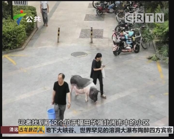 小区惊现居民遛猪 主人称当宠物养近十年