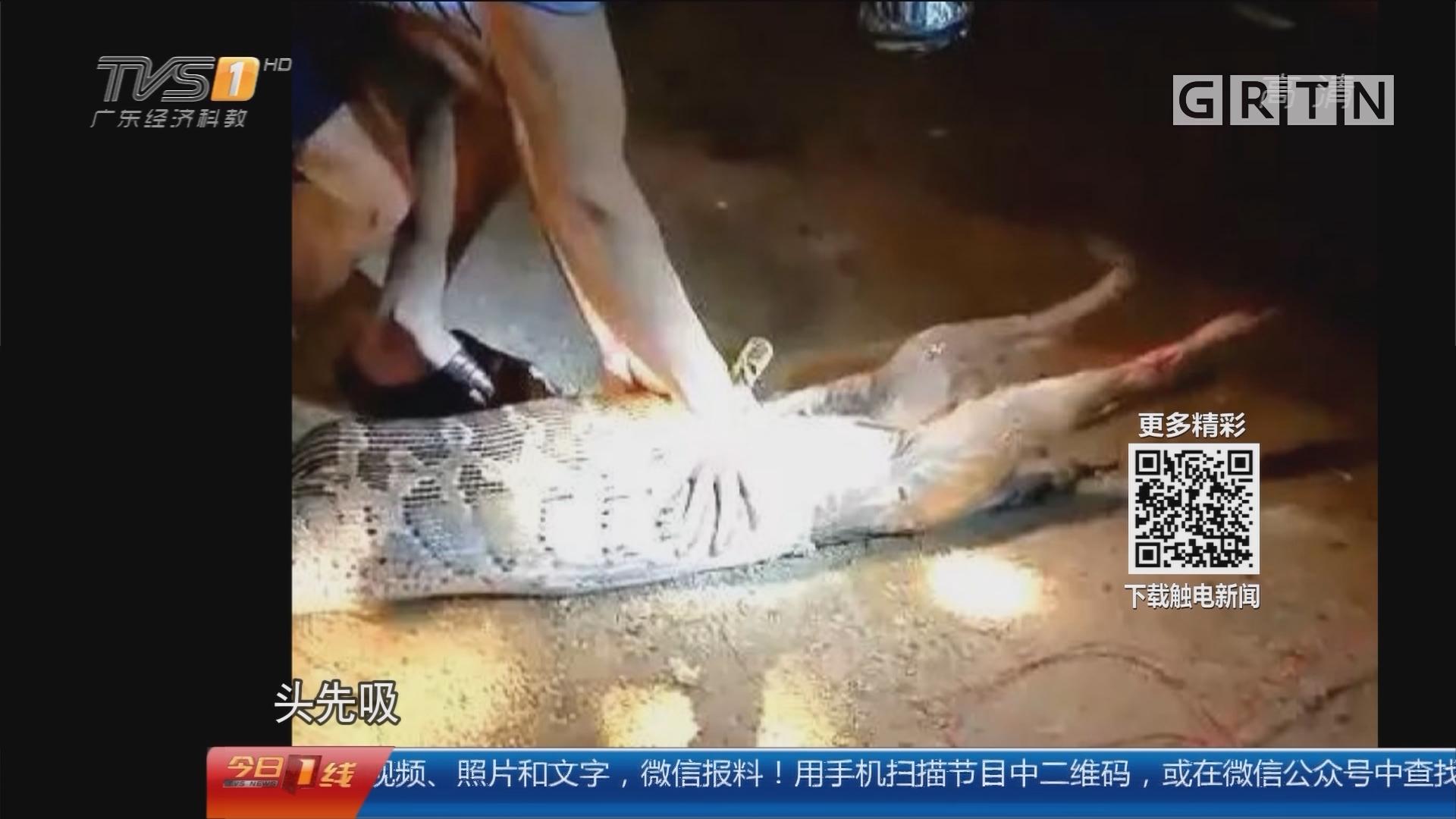 梅州:40斤蟒蛇进村 一口生吞狗
