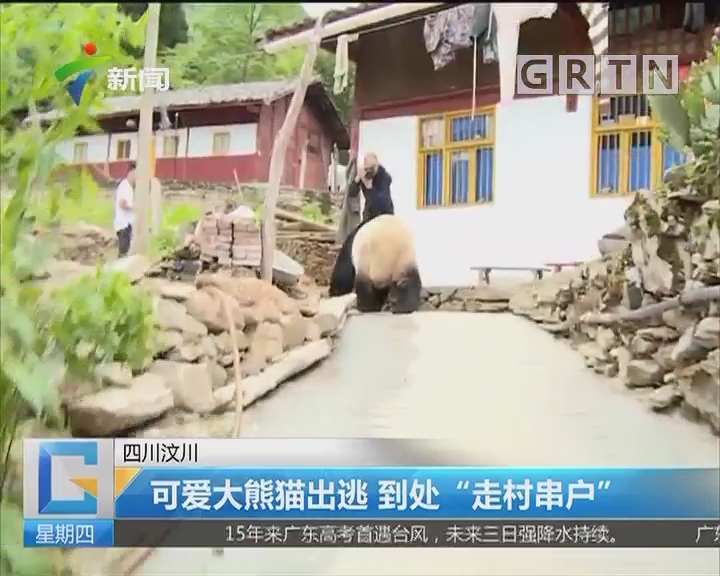 """四川汶川:可爱大熊猫出逃 到处""""走村串户"""""""