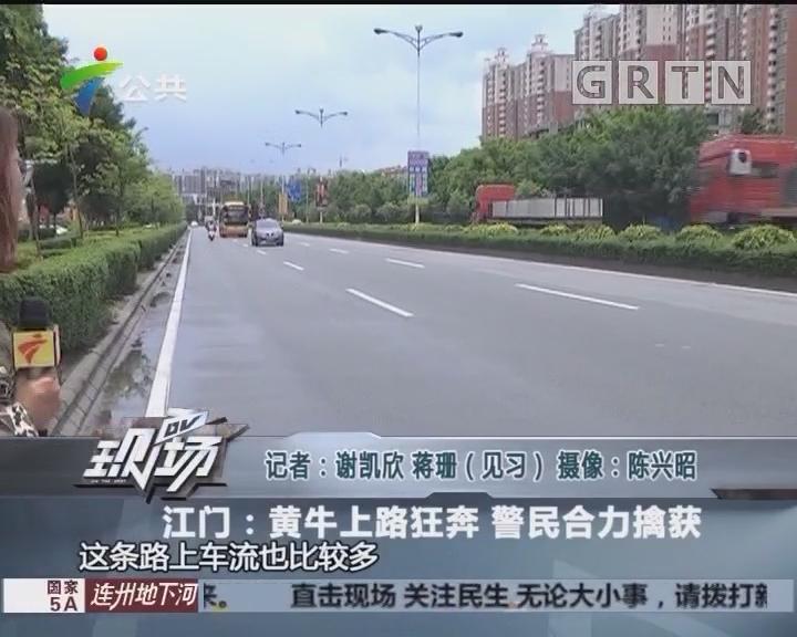 江门:黄牛上路狂奔 警民合力擒获