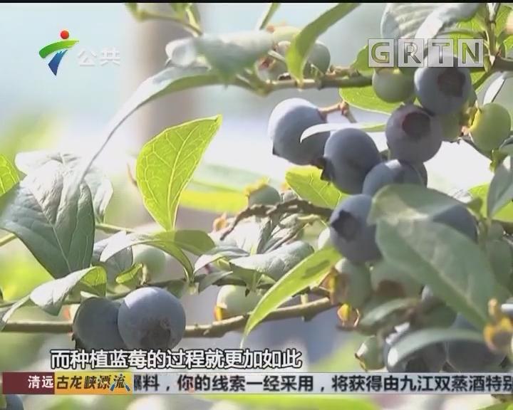 五年耕耘终迎收获 实践中摸索蓝莓种植方法
