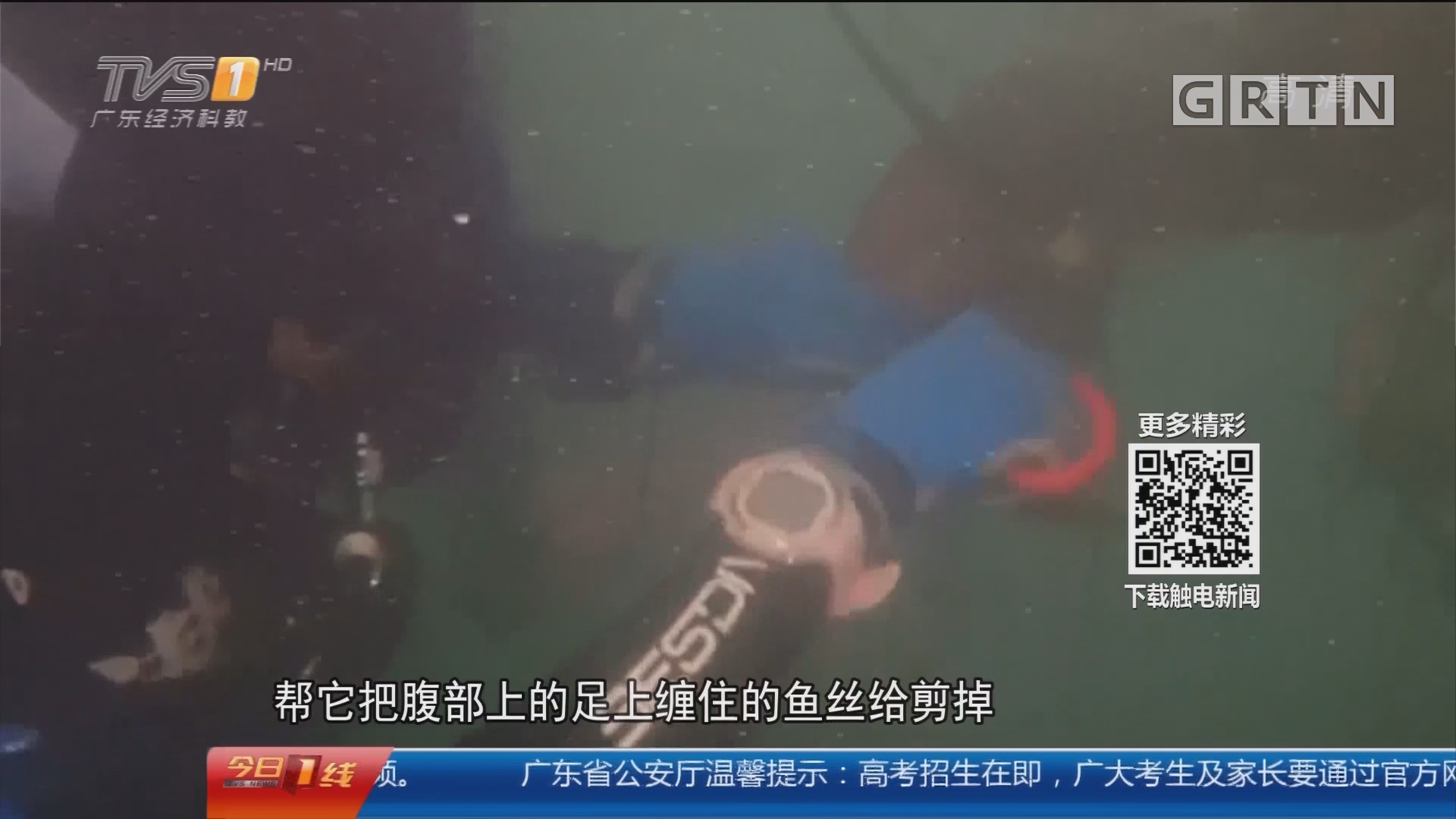 深圳:海鲎被困废弃渔网 志愿者下海解救