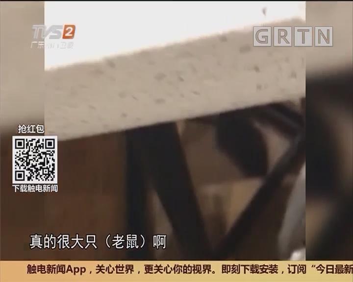 广州花都:硕大老鼠穿腿过 惊扰食客搅黄饭局