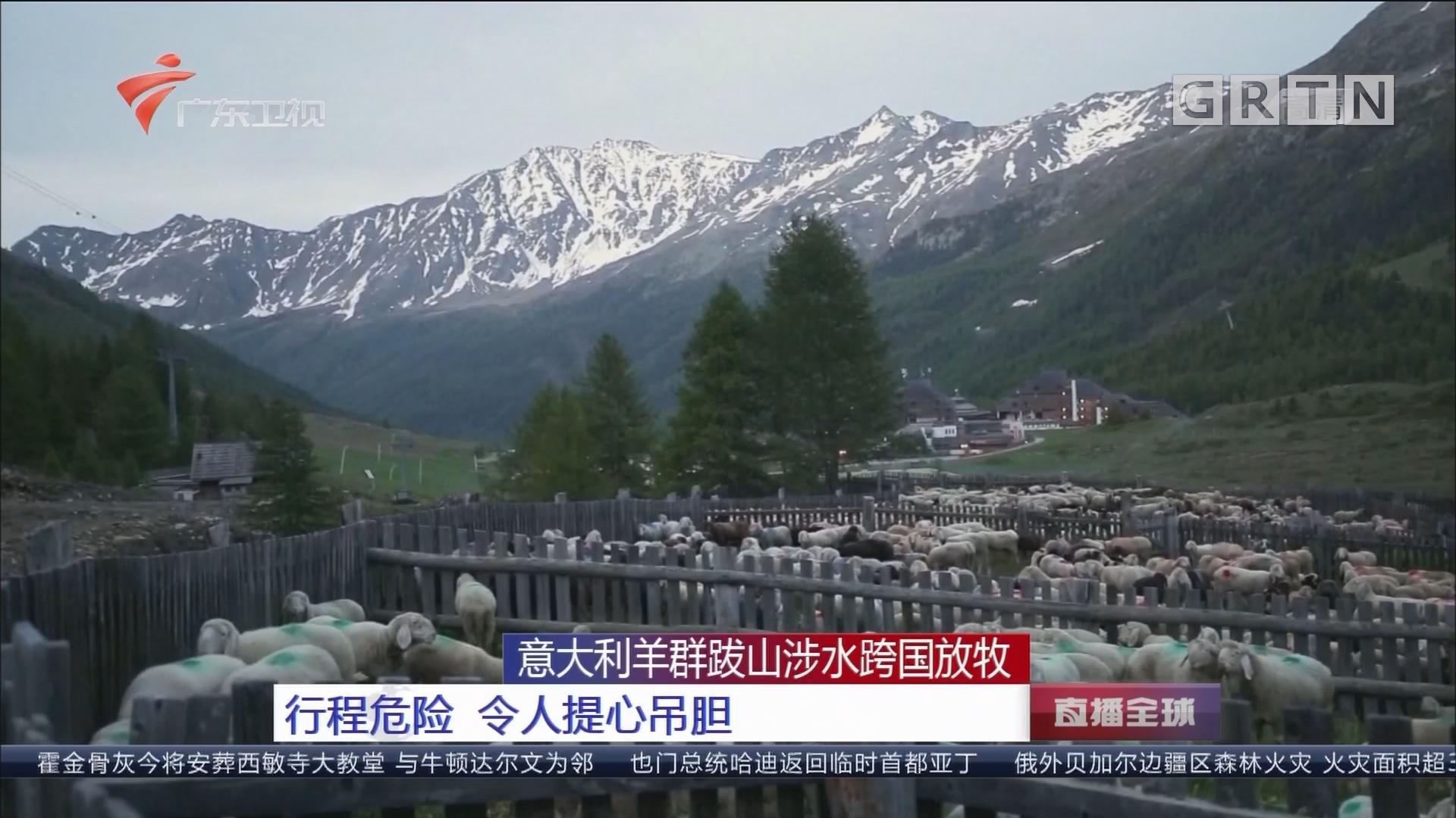 意大利羊群跋山涉水跨国放牧:行程危险 令人提心吊胆
