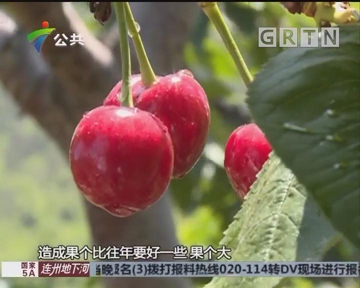 受恶劣天气影响 今年烟台大樱桃总体减产
