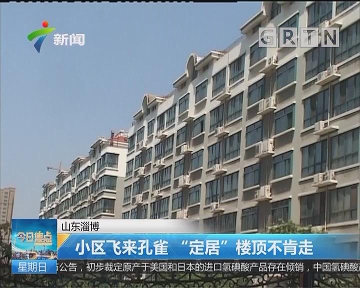 """山东淄博:小区飞来孔雀 """"定居""""楼顶不肯走"""