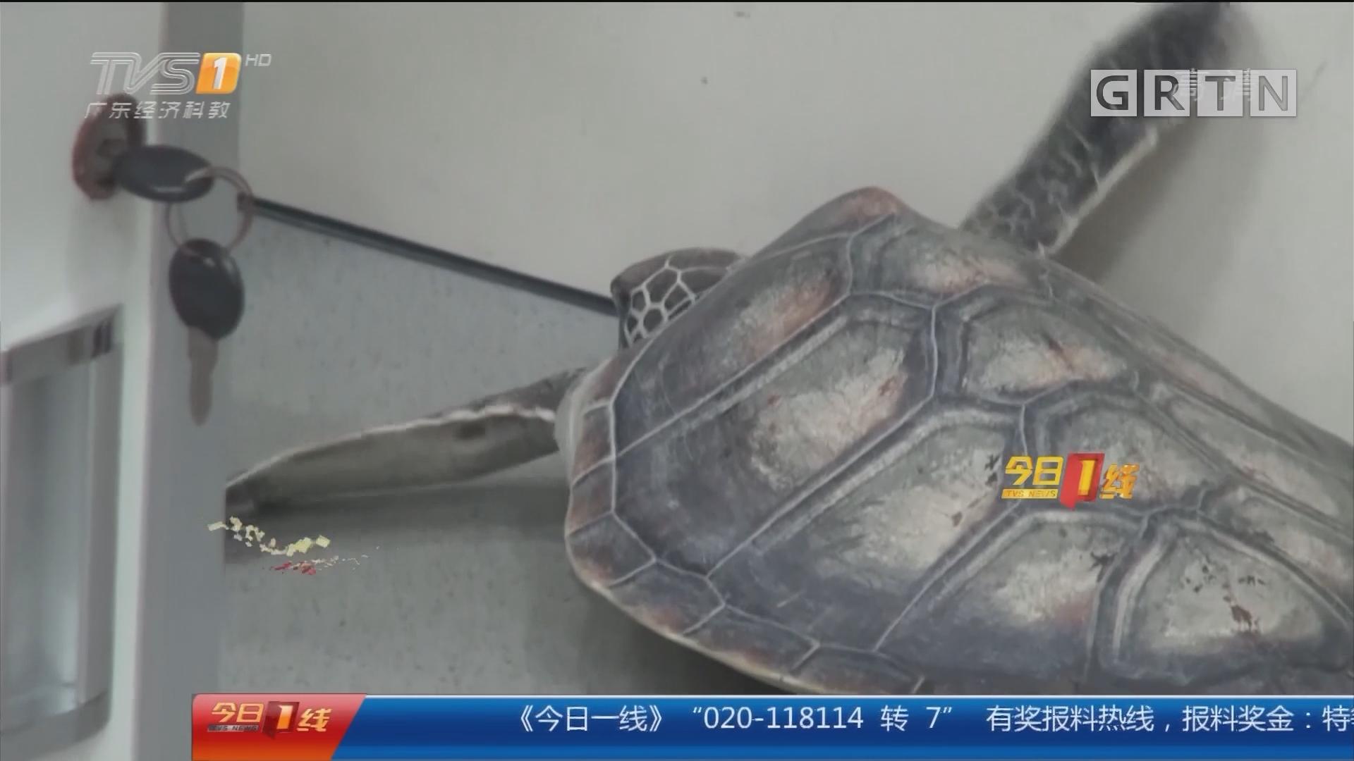 湛江:海警站岗 偶遇伤痕累累海龟