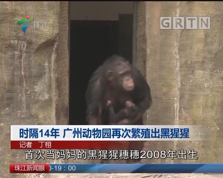 时隔14年 广州动物园再次繁殖出黑猩猩