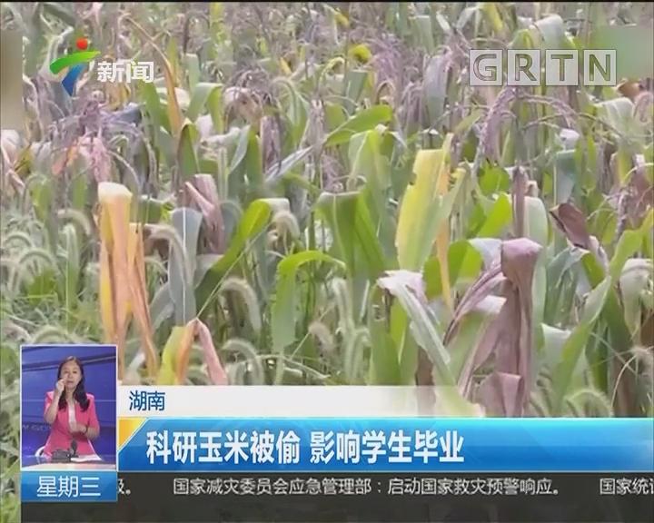 湖南:科研玉米被偷 影响学生毕业