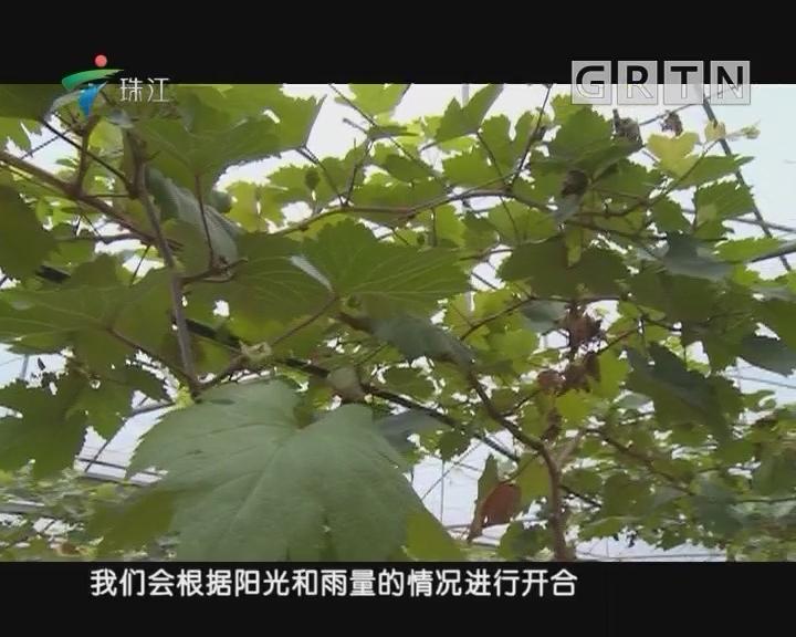 [2018-07-02]摇钱树:避雨栽种葡萄