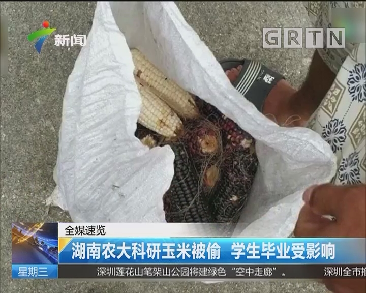 湖南农大科研玉米被偷 学生毕业受影响